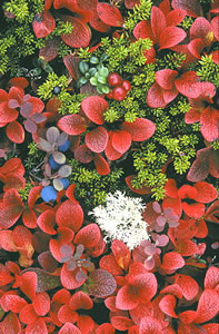 The Alaskan tundra is home to many speices of plants, including berries. Credit: Scott Seigmund Fall 2001