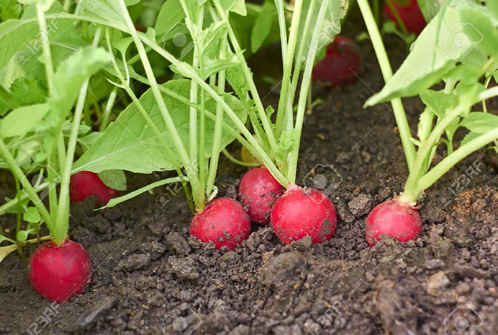 Radish plants in dirt