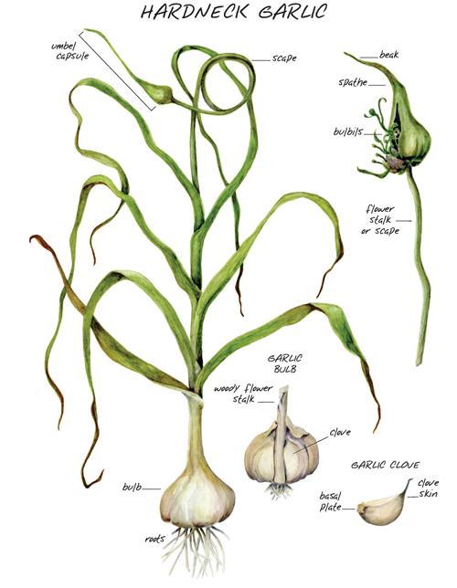 Growing Garlic In Alaska Cooperative Extension Service