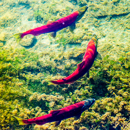 Migrating sockeye (red) salmon approach their spawning grounds near the headwaters of the Gulkana River near Summit Lake off the Richardson Highway in mid-August.
