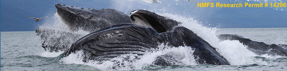 Humpback whales surfacing from the ocean depths - NMFS Research Permit #14296