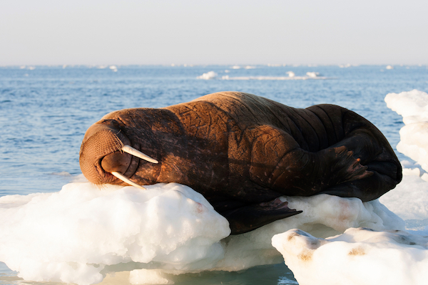walrus napping on sea ice