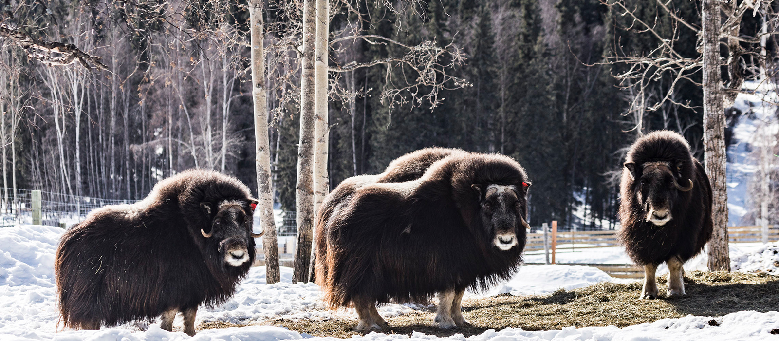 Musk ox at the farm