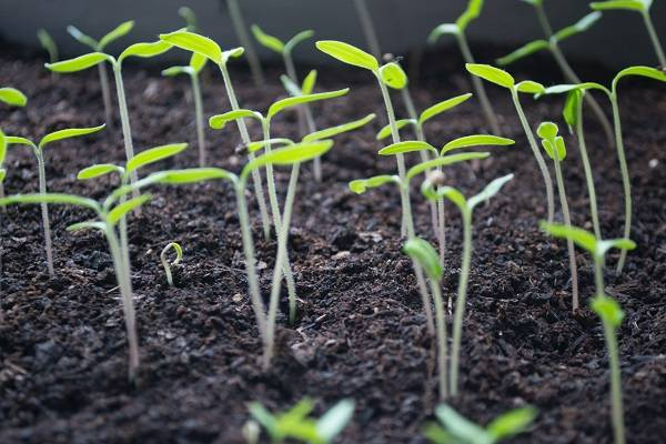 Young plants sprouting from soil.