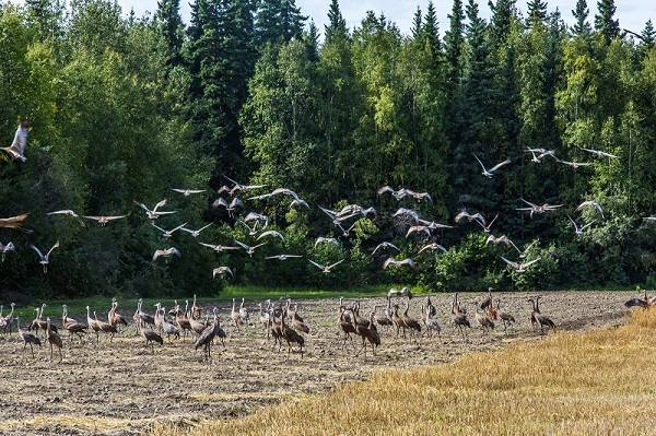 Sandhill cranes flying across a field.