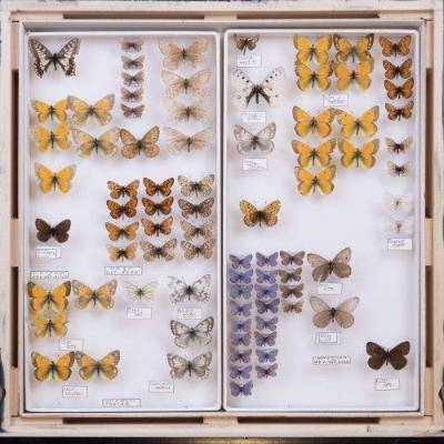 Butterfly specimens in a museum drawer.