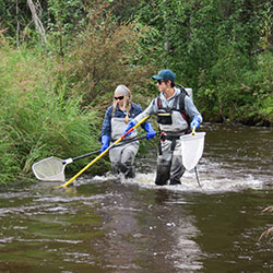 UAF researchers wade up Colorado Creek, which drains into the upper Chena River east of Fairbanks using an electroshocker to collect fish samples