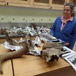 Pam Groves looks at bones of muskox, steppe bison and mammoth